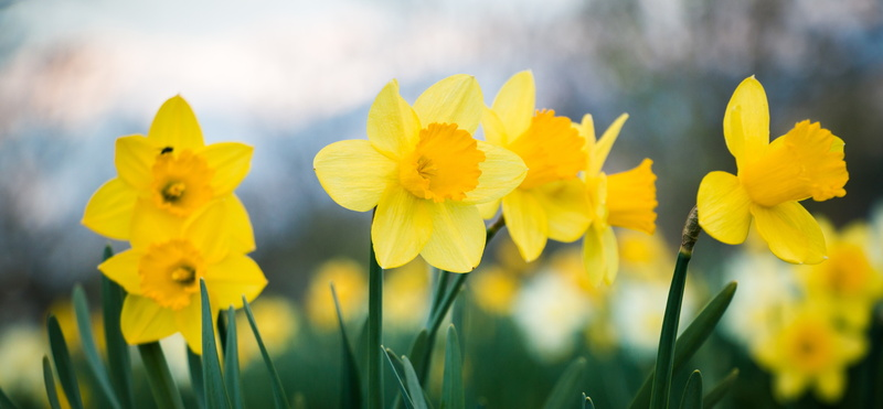 daffodils-in-a-field